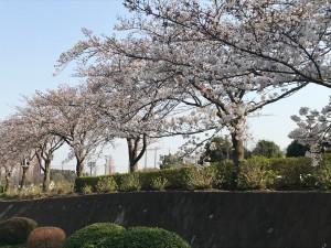 運動公園 桜